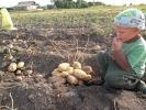 Картопля_11