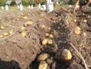 Картопля_7