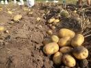 Картопля_8