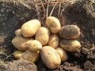 Картопля_9